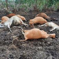 ฟ้าผ่าเปรี้ยง เงินเกลี้ยงแทบสิ้นใจ! ฟ้าผ่าวัวตาย 11 ตัว เจ้าของเศร้าแทบหมดตัว