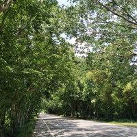 Unseen ถนนอุโมงค์ต้นไม้ยักษ์ยาวกว่า 2 กม. ร่มรื่นตื่นตา