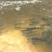 พบฝูงปลาพวง ปลากั้ง ออกมาว่ายน้ำกลางน้ำตกแจ้ซ้อน หลังอุทยานปิด