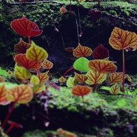 ธรรมชาติหน้าฝนสดชื่นชมความงามบีโกเนีย ที่กำลังพลัดใบบนภูหินร่องกล้า