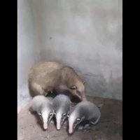 น่าเอ็นดู! แตกตื่นทั้งหมู่บ้าน เจอครอบครัวหมูหริ่งสัตว์หายาก