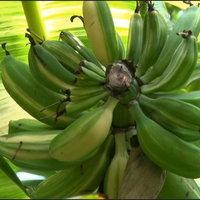 กล้วยตานีด่างทั้งใบทั้งลูก ขายไปแล้ว 60,000 บาท