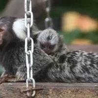ลิงจิ๋วออกลูกแฝดสาม ติดแม่เป็นตังเม