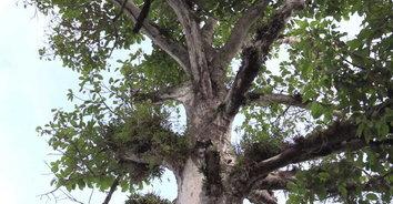 ร้องขอชีวิตให้ต้นยางนาโบราณอายุนับร้อยปี