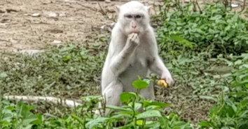 """ฮือฮา พบ """"ลิงเผือก"""" สัตว์หายาก เชื่อเป็นลิงคู่บารมี"""