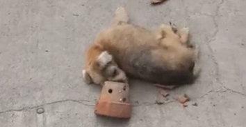 ปศุสัตว์ฉะเชิงเทรา ลงตรวจสอบเหตุสุนัขถูกกระถางต้นไม้ปาใส่จนสลบกลางถนน