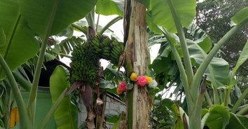 ลุ้นรวย! ส่องเลขเด็ดกล้วยสูงชะลูด เครือคล้ายพญานาคทะลุกลางต้น
