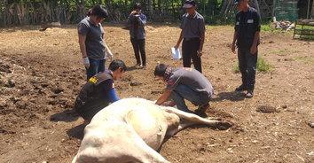 พบวัวล้มลงอย่างต่อเนื่อง ปศุสัตว์คาดพยาธิในเลือดเป็นสาเหตุ
