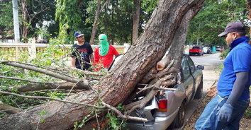 หนุ่มดวงซวยจอดรถยนต์ข้างบ้านใต้ต้นไม้ใหญ่ จู่ๆ ล้มทับรถพังเสียหายทั้งคัน