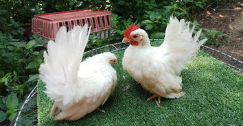 เกษตรกรอดีตพนักงานออฟฟิศเลี้ยงไก่เบตง-ไก่สวยงามขาย สร้างรายได้งาม