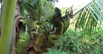 ฮือฮา! ต้นมะพร้าวแตกยอดคล้ายพญานาค เชื่อมาให้โชคลาภช่วงออกพรรษา