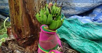 เลขเด็ด! กล้วยปลีดอกบัวเครือโผล่จากดิน