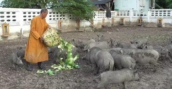 เมตตาธรรมค้ำจุนโลก หลวงพ่อสุดใจบุญใช้ข้าวก้นบาตรเลี้ยงหมูป่าถูกทิ้งกว่า 30 ตัว