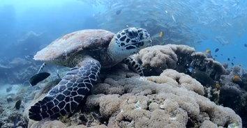 เต่ายักษ์เจ้าถิ่นที่เกาะพีพี เตรียมต้อนรับเหล่านักดำน้ำไปชมความงามใต้ท้องทะเล