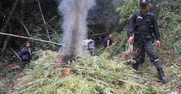 เผาให้ราบ! เจ้าหน้าที่ยึด-ทำลายกัญชากว่า 700 ต้น ย้ำยังไม่มีการอนุญาตให้ปลูก