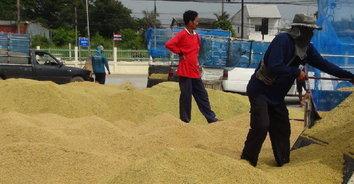 ชาวนาบุรีรัมย์แห่นำข้าวเปลือกเกี่ยวสดเข้าคิวขายโรงสีคึกคัก เหตุได้ราคาสูงตันละ 13,000 บาท