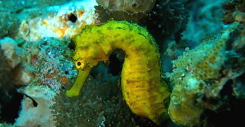อวดโฉมม้าน้ำสีทองใต้ทะเลเกาะพีพี (ชมคลิป)