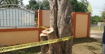 แก๊งมอดไม้ลอบตัดไม้พะยูงเถื่อนในโรงเรียน เจ้าหน้าที่เชื่อคนในพื้นที่รู้เห็น