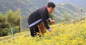 """""""ภูทับสี่ บ้านน้ำจวง"""" ชมทุ่งดอกเก๊กฮวยขั้นบันได ไร่องุ่นไร้เมล็ด จิบชาตามวิถีธรรมชาติ"""