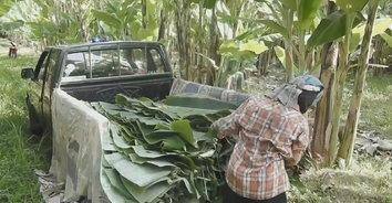 ชาวสวนสุโขทัยเร่งส่งขายช่วงลอยกระทง ส่งขายทั่วไทย ยอดจองถล่มทลาย
