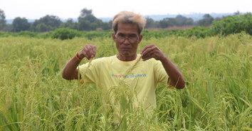 โรคใบด่างระบาดหนัก เกษตรกรหันมาปลูกข้าวไร่ไว้กินเองแทนมันสำปะหลัง