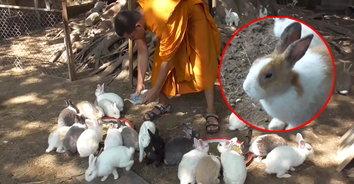 พระวอนช่วยเหลือบริจาคอาหารกระต่ายวัดดังเมืองอ่างทอง หลังขยายพันธุ์รวดเร็ว