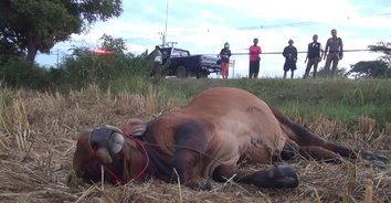 มักง่าย! เจ้าของล่ามวัวกับต้นข้าวแห้ง เกิดหลุดวิ่งตัดหน้ารถลุงวัย 60 พุ่งชนเต็มแรง