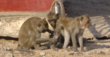 สุดน่ารัก! ลิงแสมกว่า 500 ตัว ออกผิงแดดแก้หนาวหลังอุณหภูมิลดฮวบ
