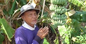 ไหว้ล่ะ! ลุงเจ้าของสวนกล้วยสุดช้ำ โดนขโมยตัดกล้วยกว่า 200 หวี