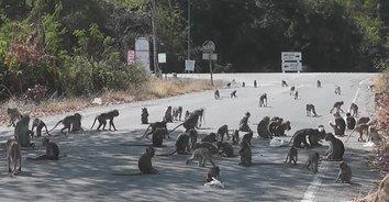 ฝูงลิงแสมลงจากเขาเดินเกลื่อนถนน เตือนผู้ใช้รถใช้ถนนต้องระมัดระวัง!