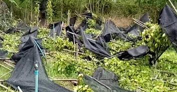พายุฤดูร้อนแผลงฤทธิ์! ถล่มสวนพลูเสียหายราวครึ่งแสน ที่ปราจีนบุรี