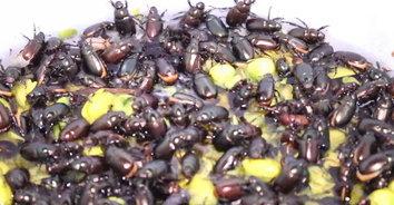 แมงอีนูนทอดกรอบของแซ่บอีสาน อาหารตามฤดูกาล