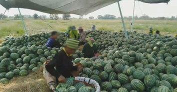 คนไทยไม่ทิ้งกัน! สาวไลฟ์สดขายแตงโม 100 ไร่ 100 ตัน หมดชั่วข้ามคืน