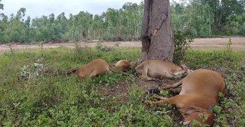 ฟ้าผ่าเปรี้ยงลงต้นไม้ใหญ่กลางทุ่งนา วัวตายทีเดียวถึง 6 ตัว สูญเงินเฉียด 3 แสน