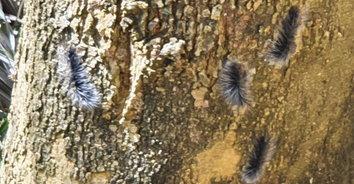 สะพรึง! หนอนบุ้งดำยักษ์นับร้อยตัว บุกกินเปลือกไม้พืชผลทางการเกษตรชาวบ้าน