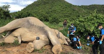 สุดสลด! พบช้างป่ากุยบุรีงวงพันลวดไฟฟ้า คาดถูกไฟช็อตจนตาย