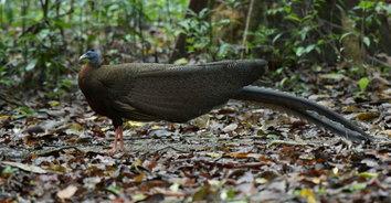 พบนกหว้านกหายากใกล้สูญพันธุ์ กำลังเกี้ยวสาวโชว์รำแพน