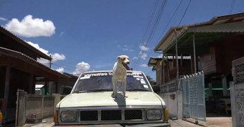 สองตัวบน! หมาแสนรู้ไหว้ขอขนมยืนบนฝากระโปรงรถ