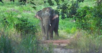 ไอ้งาต่าง ช้างป่าเขาชะเมาโหด เตะคนแก่กระอักเลือดดับ
