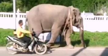 ฆ่าเจ้านาย! ช้างตกมันคลั่งแทงเจ้าของเสียชีวิตกลางป่า ขณะชักลากไม้ยางพารา