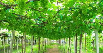 ท่องเที่ยวเชิงเกษตรวังน้ำเขียว ช้อปชิมผลผลิตสดๆ จากไร่