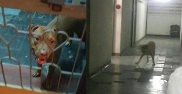 ผวาหนัก! เพื่อนบ้านปล่อยหมาพิทบูล 7 ตัว เดินเพ่นพ่านในคอนโด