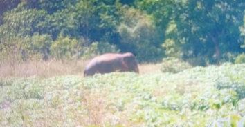 ระทึก! ช้างป่า 7 ตัว ลุยป่าไร่มันสำปะหลัง