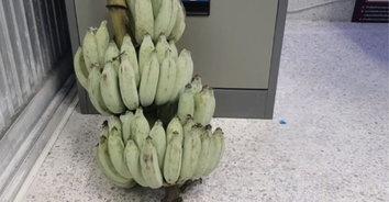 ไม่กล้วยจริงๆ รวบโจรขับเก๋งขโมยกล้วย สารภาพเอาไปขายเงินไม่พอใช้