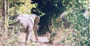 น้องหิว! ช้างป่าแปดริ้ว บุกเหมาสวนแตงกวาถึงปราจีน