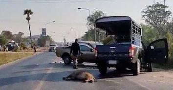 ลูกตายแม่ควายหนีกระเจิง! ควายแม่ลูกวิ่งตัดหน้ารถกระบะ ลูกควายตาย 1 มีคนเจ็บ 3