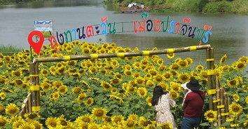 ทาตะวันบานรอชมเชย! ริมแม่น้ำปราจีนฯ ดอกทานตะวันบานสวยวิวแม่น้ำ