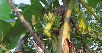 เลขเด็ด! ต้นกล้วยประหลาด ออกปลีกลางลำต้น ปลายปลีมุดเข้าต้นคืน