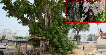 เลขเด็ด! สุดแปลกใบโพธิ์สีชมพู อายุกว่า 100 ปี แห่กราบขอโชคลาภ