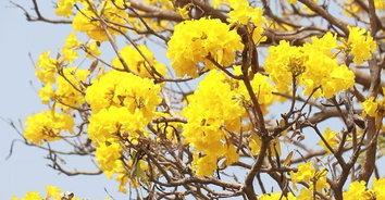 แวะเซลฟี่! ดอกเหลืองปรีดียาธร เฟื่องฟ้าบานรับหน้าร้อน